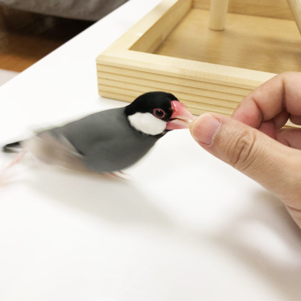 ラムネくん 文鳥