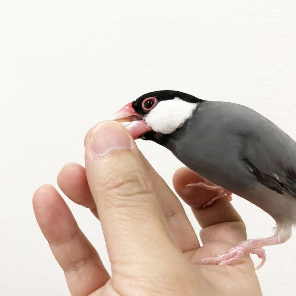 ラムネ 文鳥