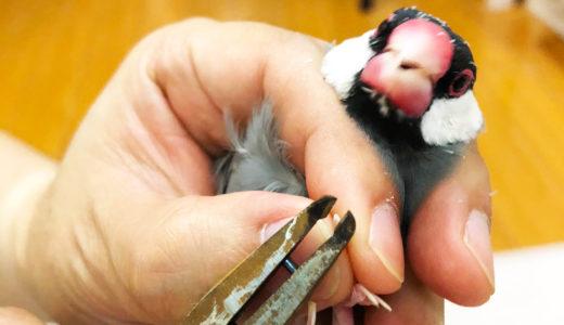 文鳥の爪切り(爪の切り方)