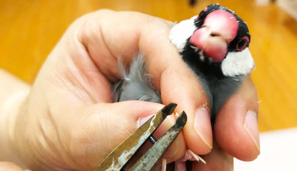 文鳥 爪切り 頻度