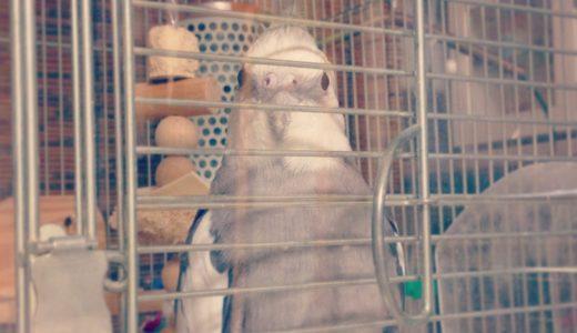 【オカメインコの飼い方】飼育用品を揃えよう:成鳥の場合