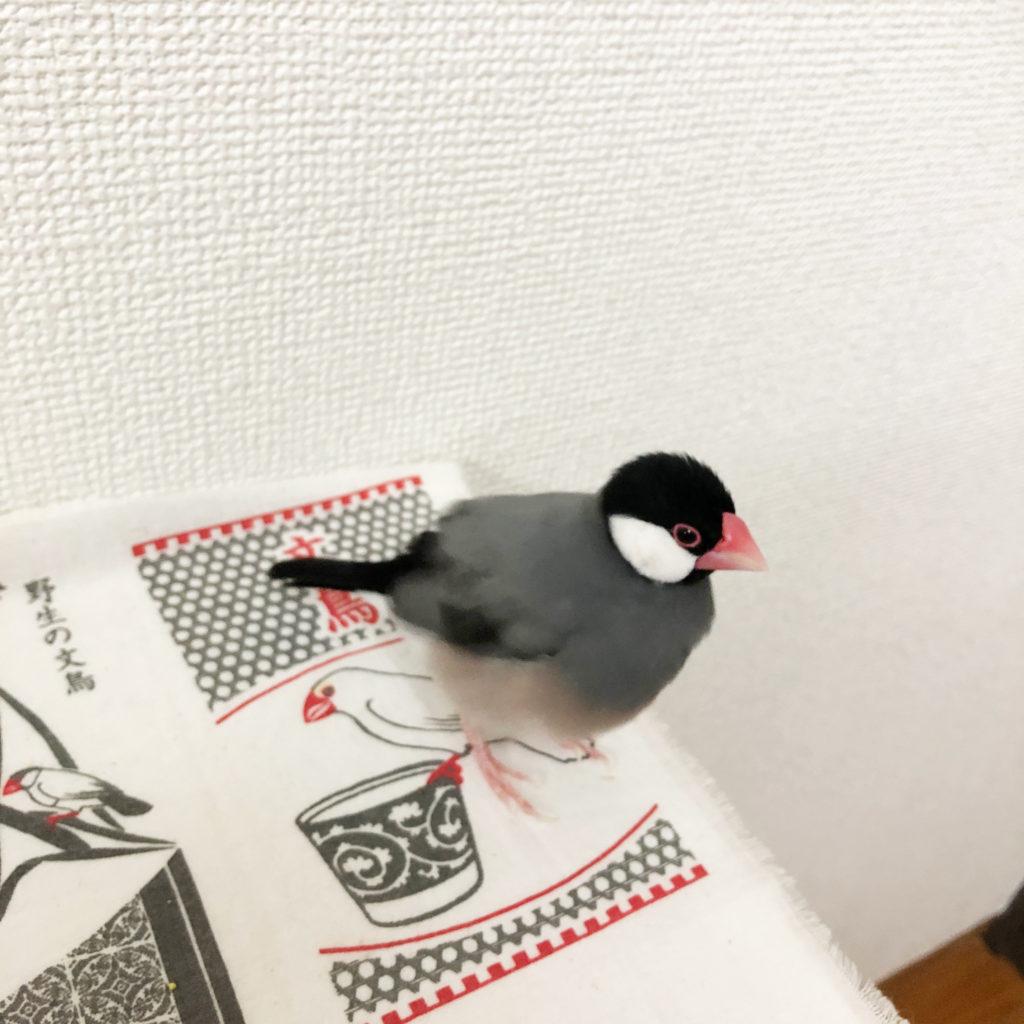 棚の上にいる文鳥のラムネくん