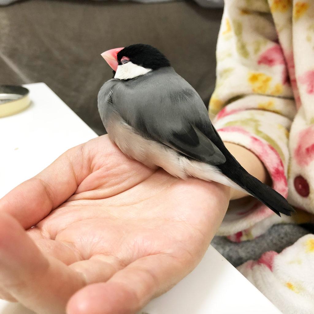 手首の上でとうとう眠ってしまった文鳥のラムネくん