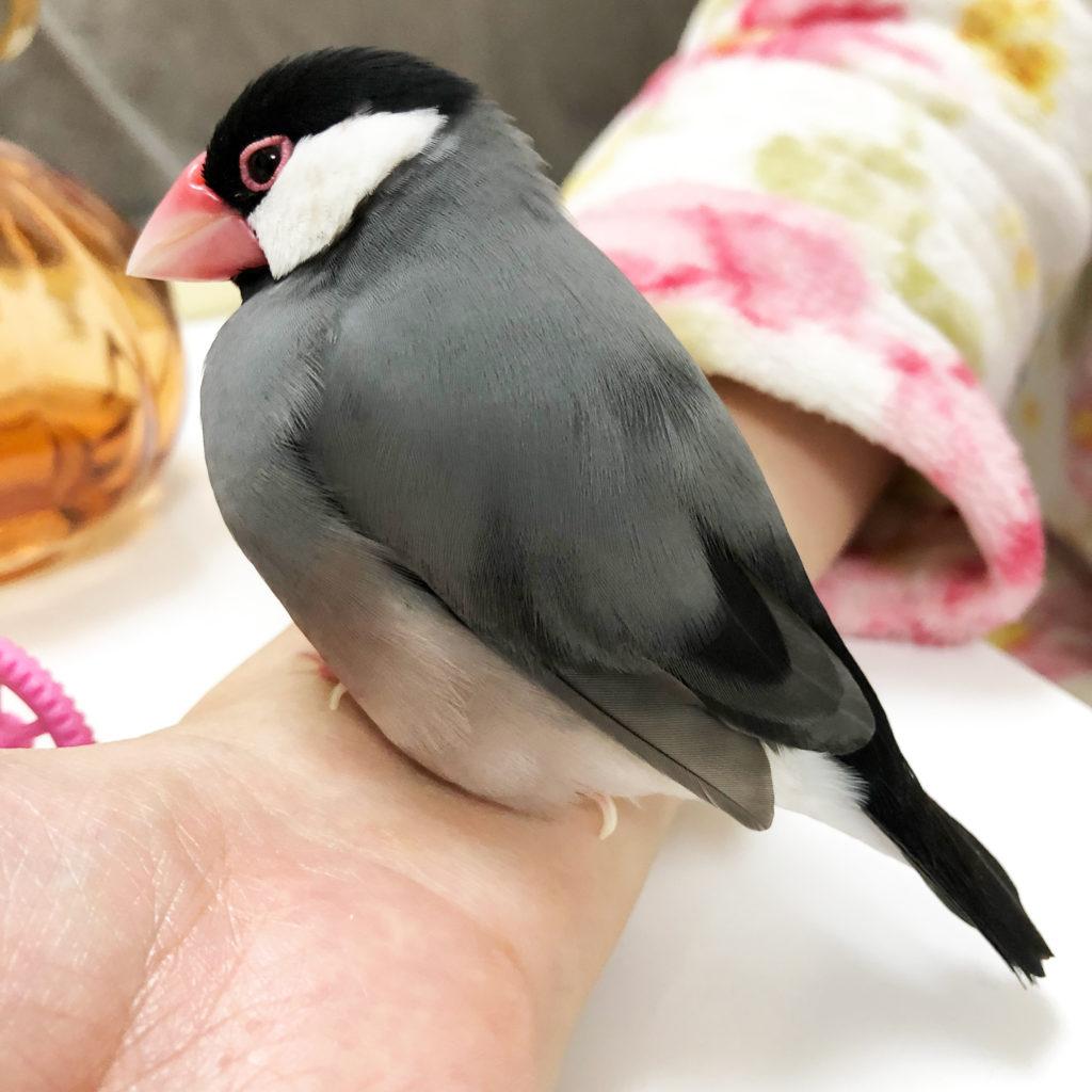 手首の上でぼんやりと座っている文鳥のラムネくん