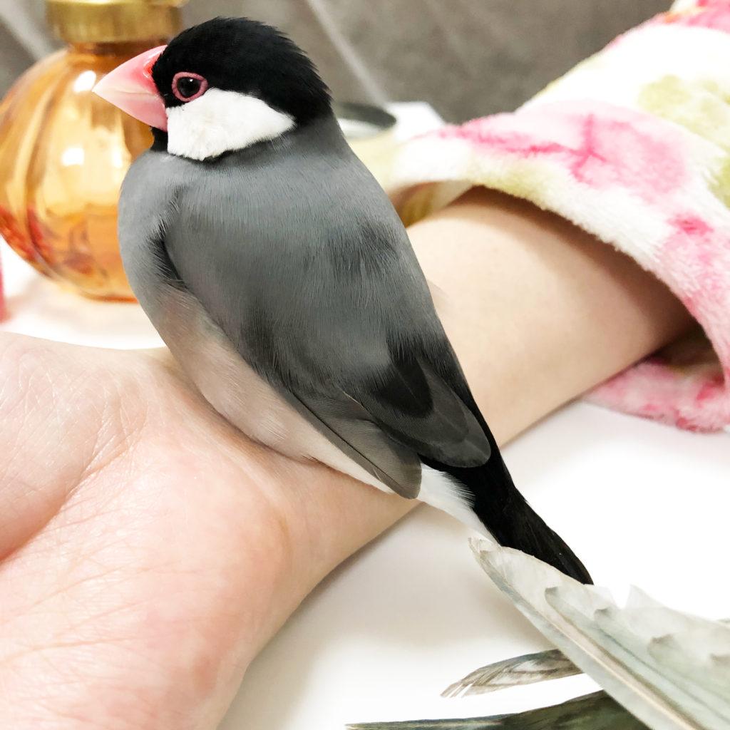 手首の上でうっとりしている文鳥のラムネくん、その後ろを通り抜ける緑の影