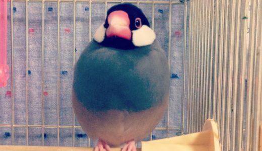 【文鳥の飼い方】飼育用品を揃えよう:成鳥の場合
