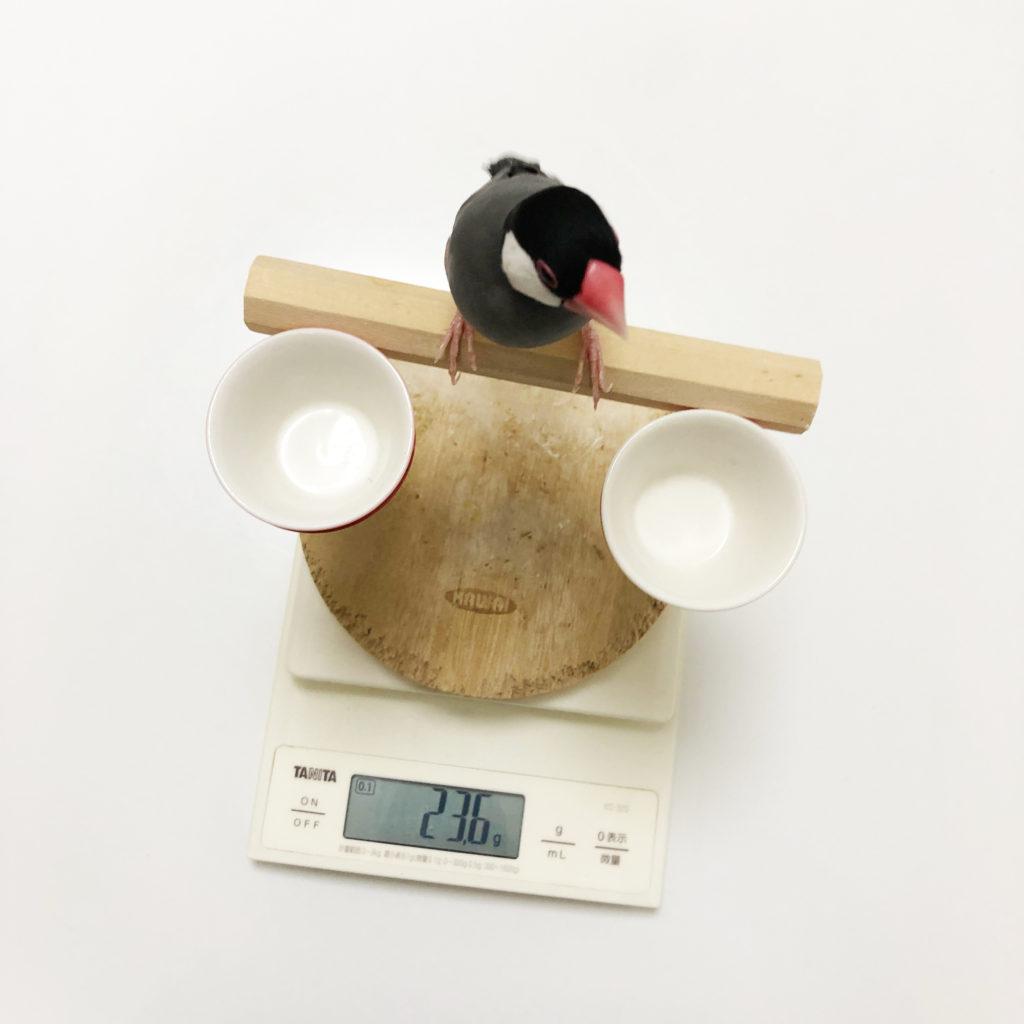 体重計に乗った文鳥のラムネくん