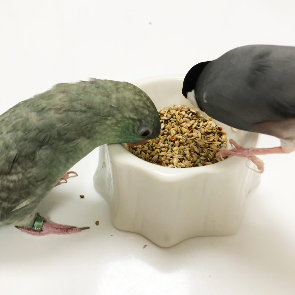 殻付き餌をむさぼる文鳥のラムネくんとサザナミインコのなすびくん