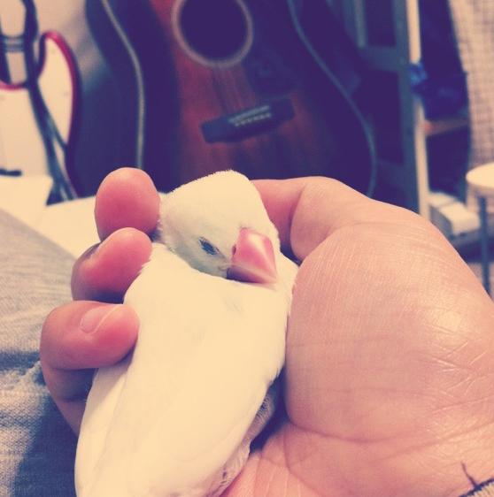 手のひらですやすやと眠る文鳥のチロルちゃん