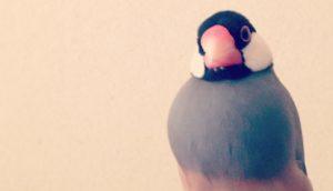 止まり木に座って首を少し傾げる文鳥のラムネくん