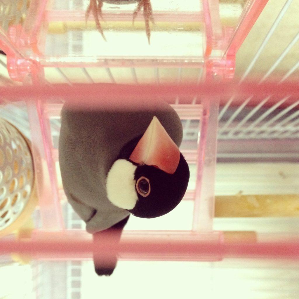 鏡のブランコの前に座っている文鳥のラムネくん