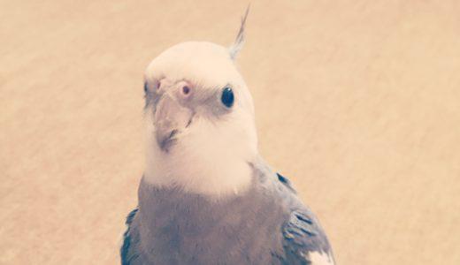 【オカメインコの飼い方】オカメインコってどんな鳥?