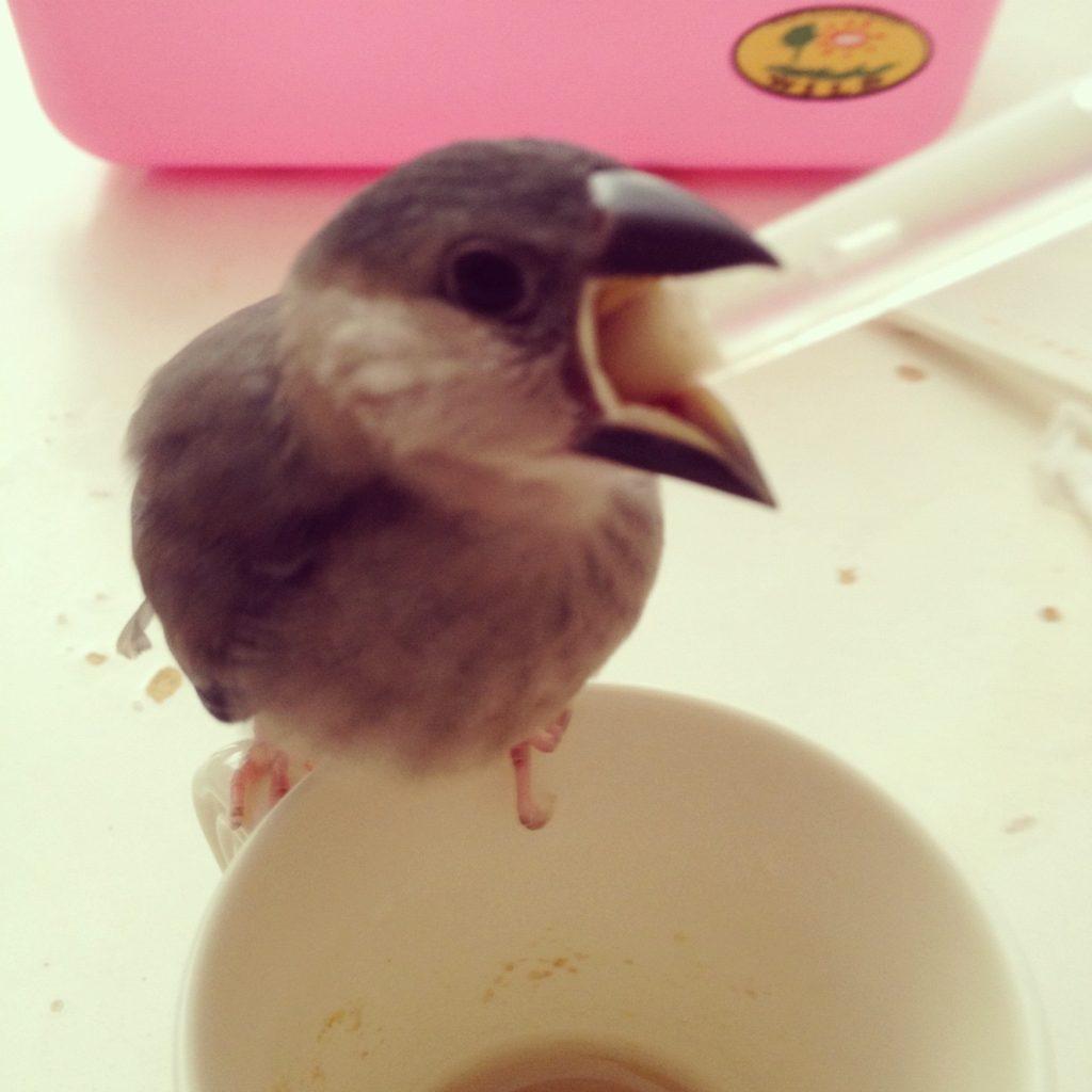 挿し餌を食べる文鳥のラムネくん