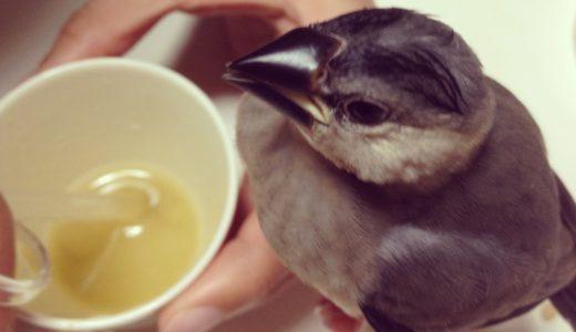文鳥の餌について:雛(ヒナ)の場合