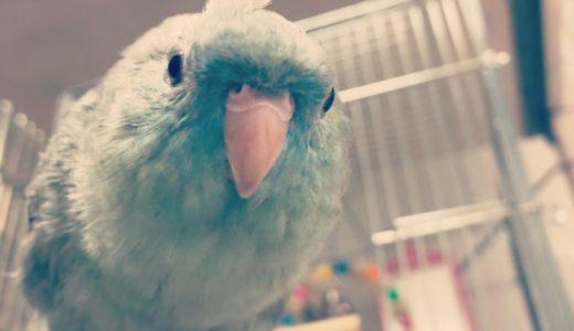 【サザナミインコの飼い方】飼育用品を揃えよう:成鳥の場合
