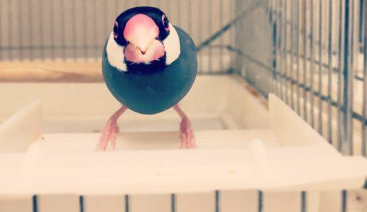 【文鳥の飼い方】餌について:成鳥の場合(ペレットとシードの比較)