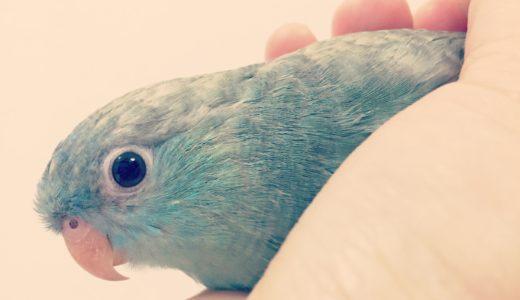 【サザナミインコの飼い方】サザナミインコってどんな鳥?