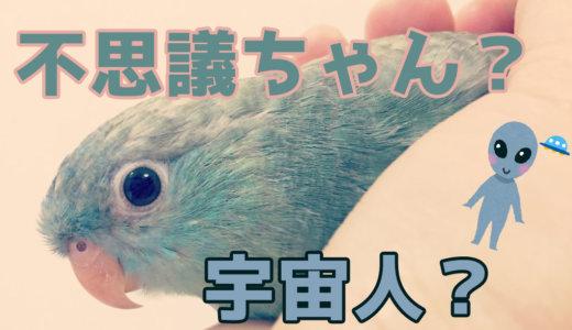サザナミインコってどんな鳥?【体重・性格・鳴き声・寿命】