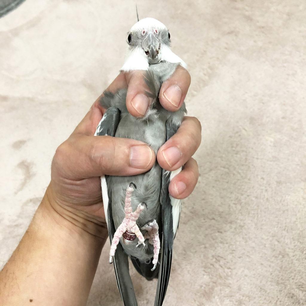 保定されるオカメインコのポテトくん