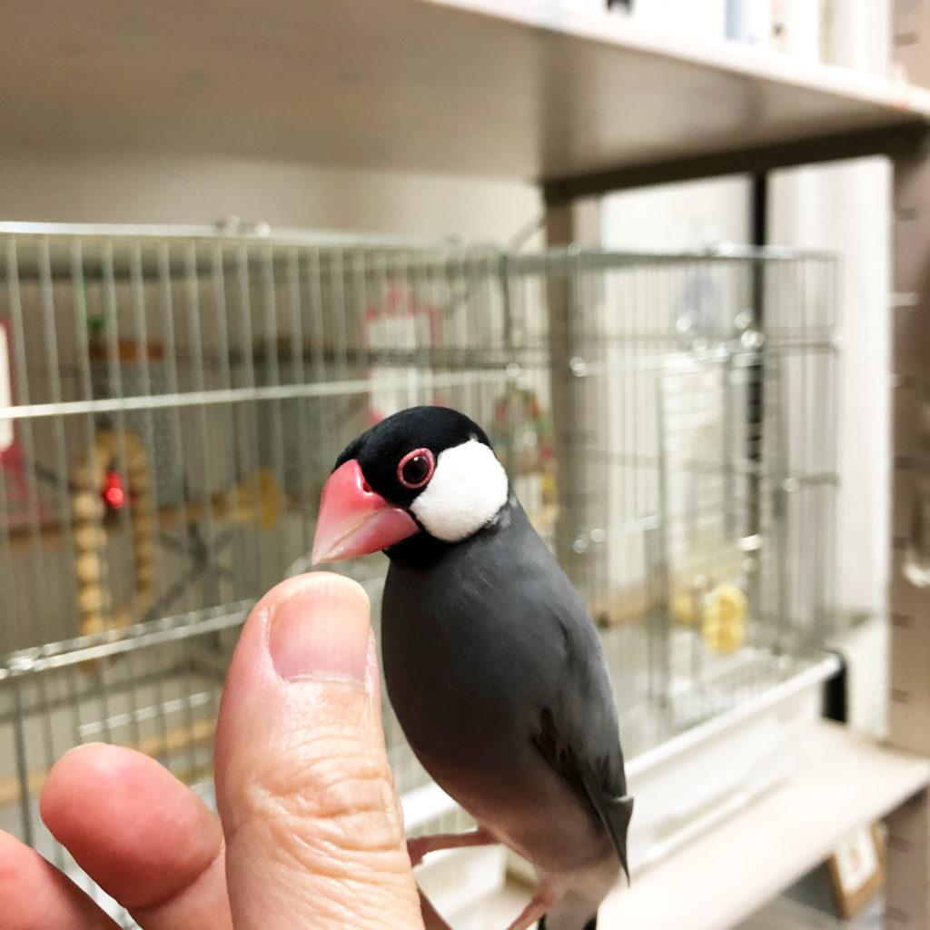指に乗る文鳥のラムネくん