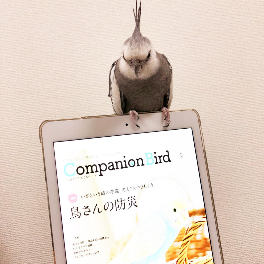 コンパニオンバードが表示されているiPadに乗るオカメインコのポテトくん