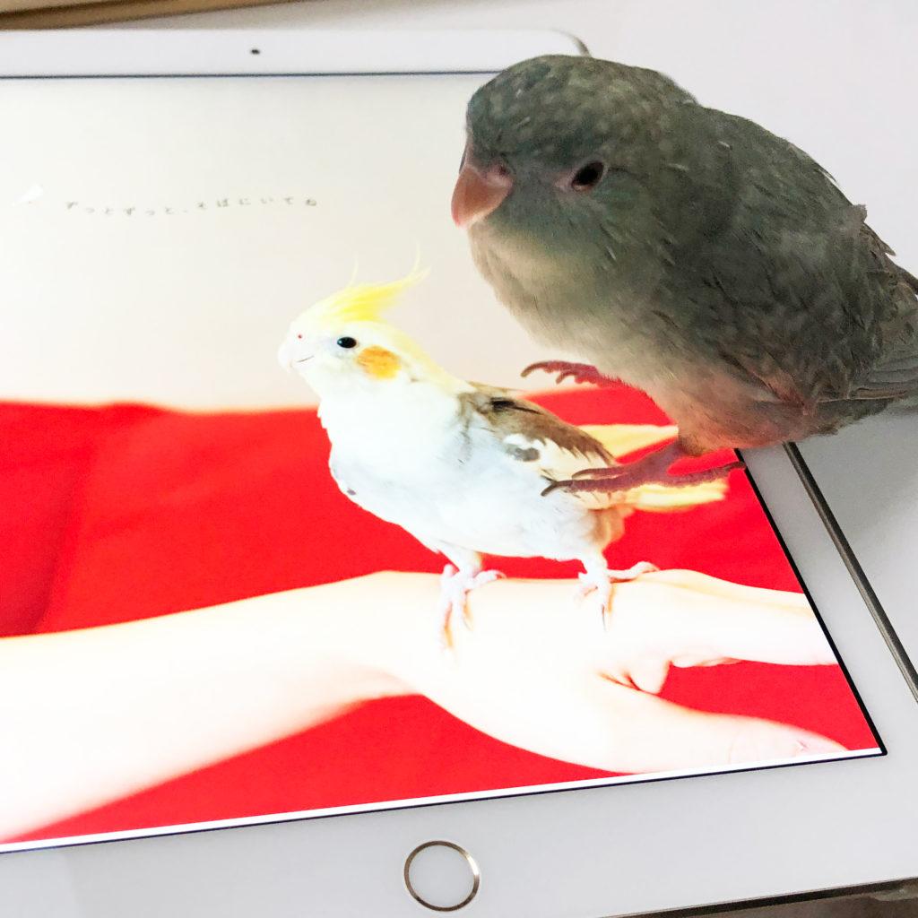 iPadに乗るサザナミインコのなすびくん