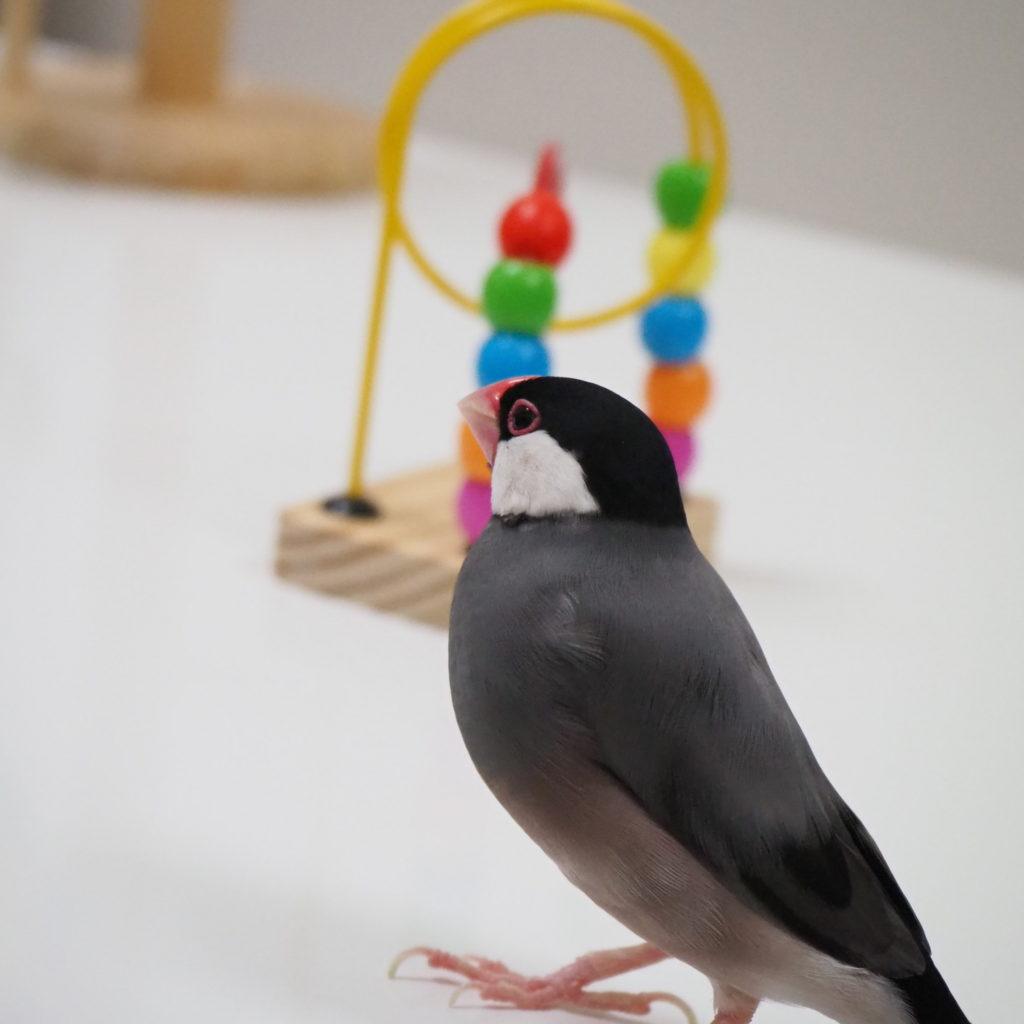 ループボールを遠目に見つめる文鳥のラムネくん