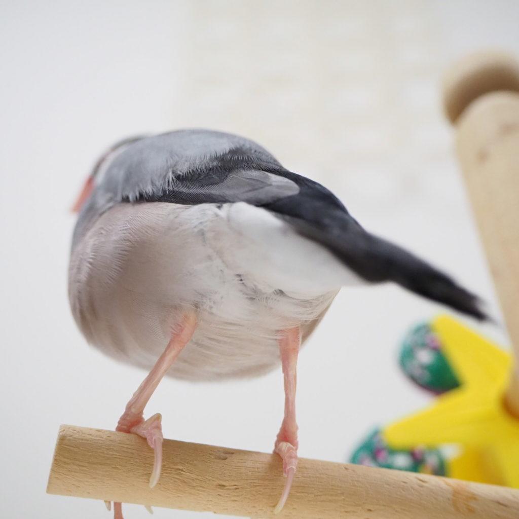 文鳥のラムネくんのお尻