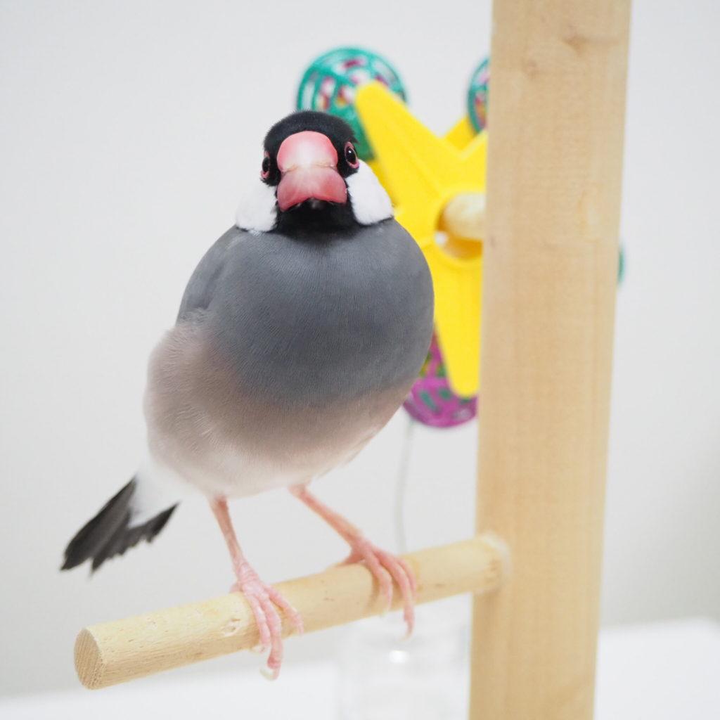 文鳥のラムネくんが止まり木に乗っている