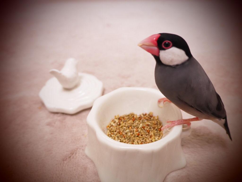 シードを美味しそうに食べている文鳥のラムネくん