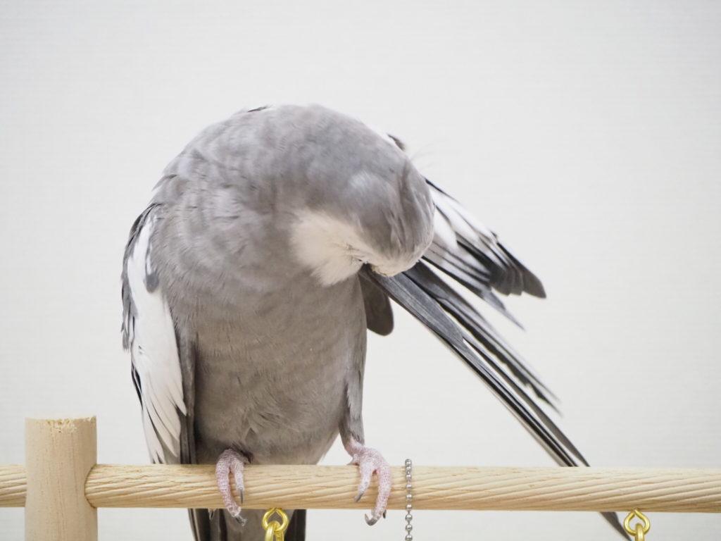 羽繕いをしているオカメインコのポテトくん