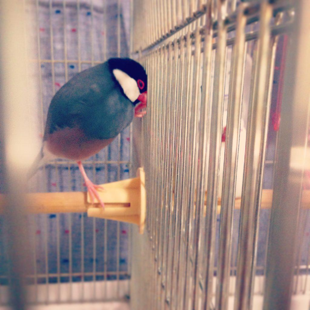 文鳥のチロルちゃんを見つめながら寝てしまった文鳥のラムネくん