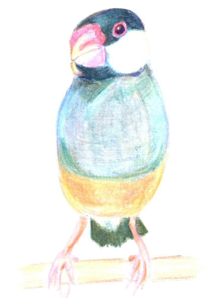 のんたんが描いた文鳥のラムネくん
