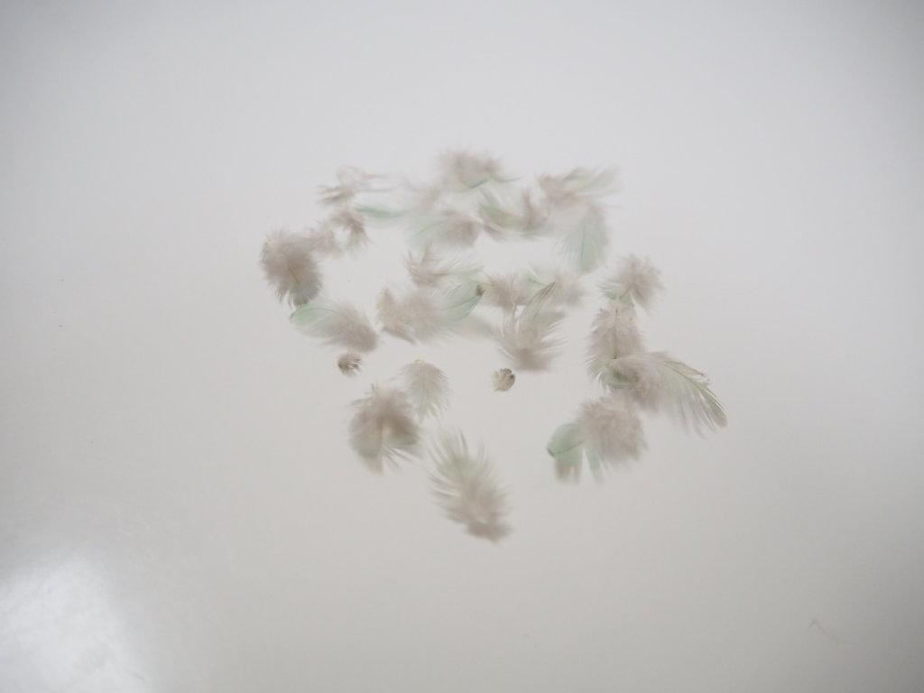換羽2日目に抜けたサザナミインコのなすびくんの羽毛