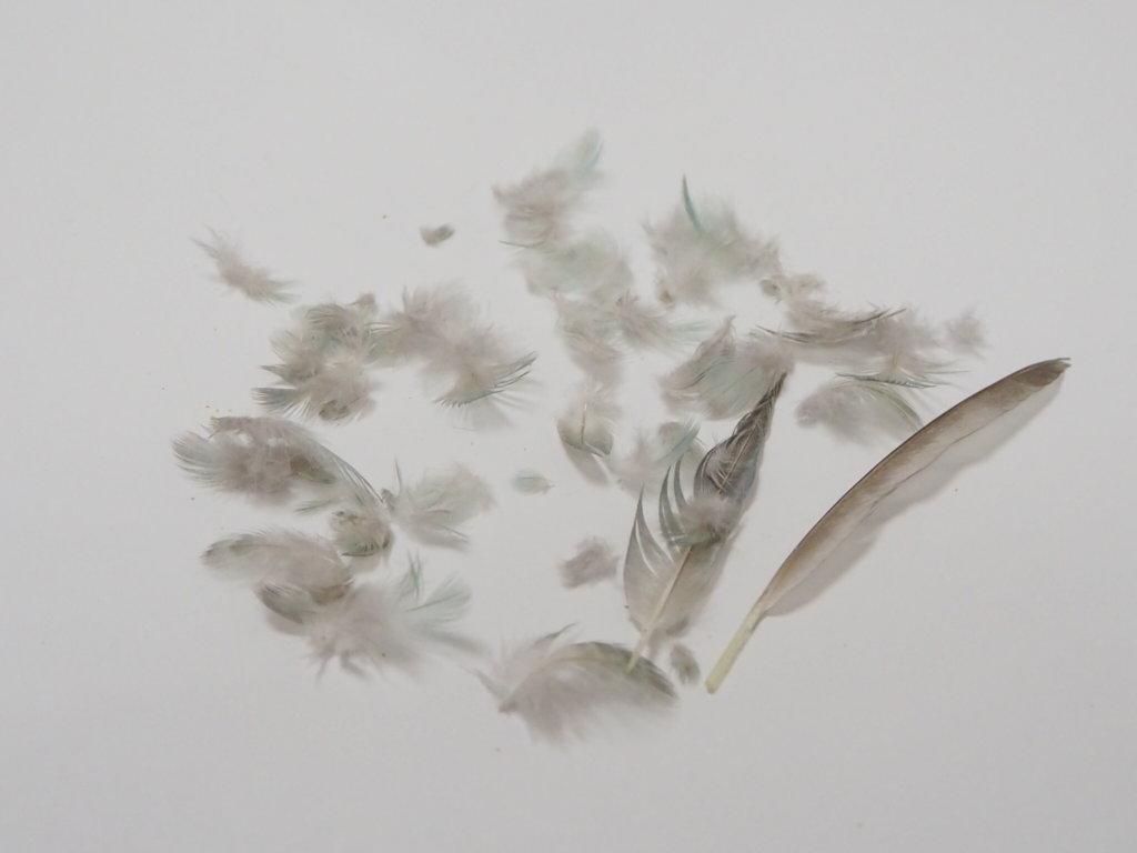 換羽3日目に抜けたサザナミインコのなすびくんの羽毛