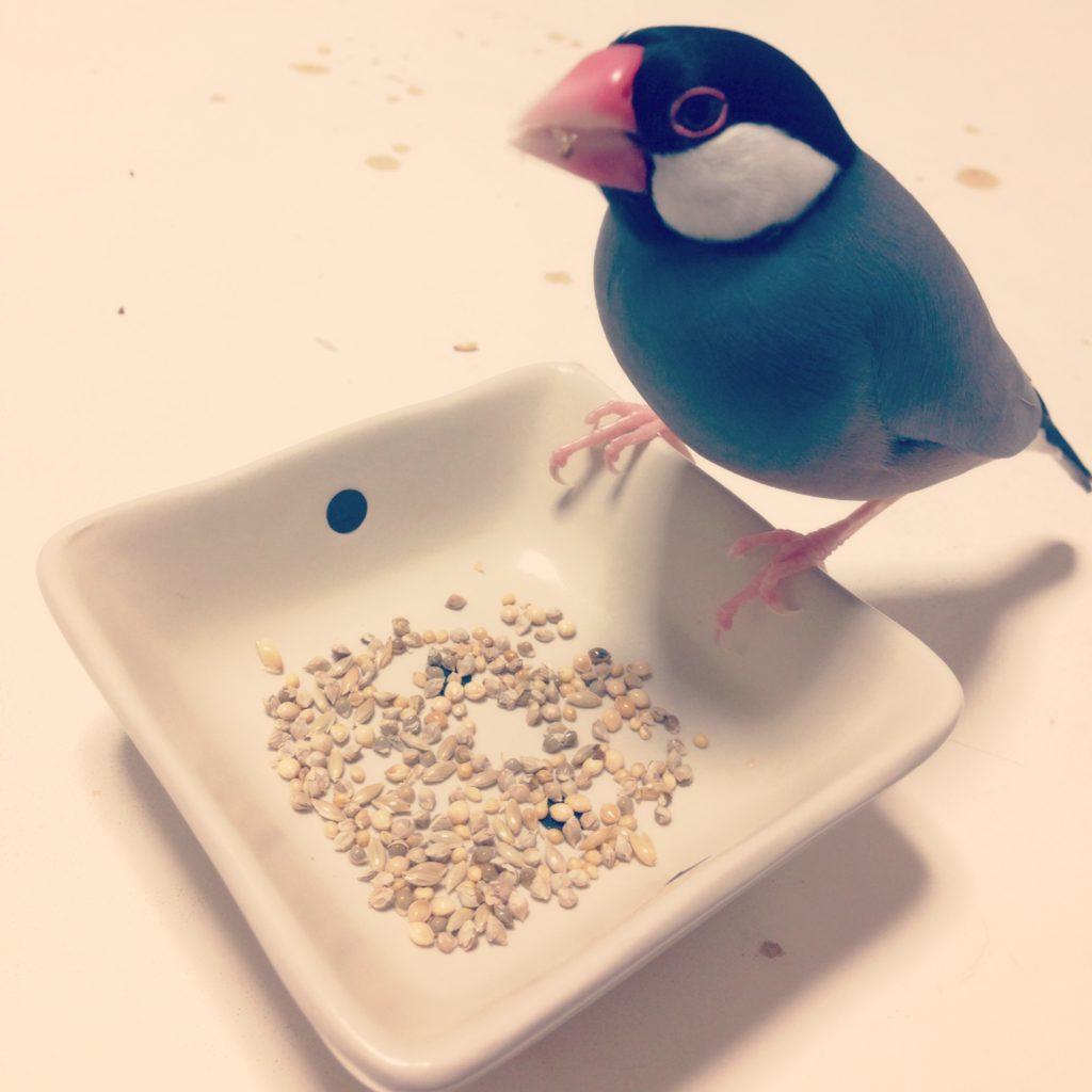 テーブルの上でシードを食べる文鳥のラムネくん