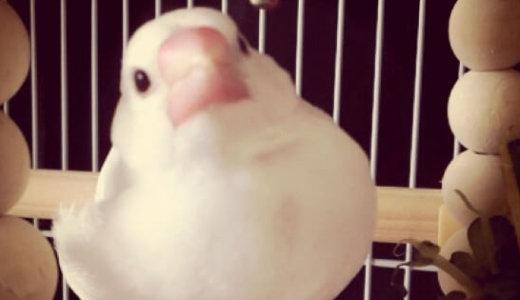 【アンケート結果】みなさんが初めてお迎えした鳥は?