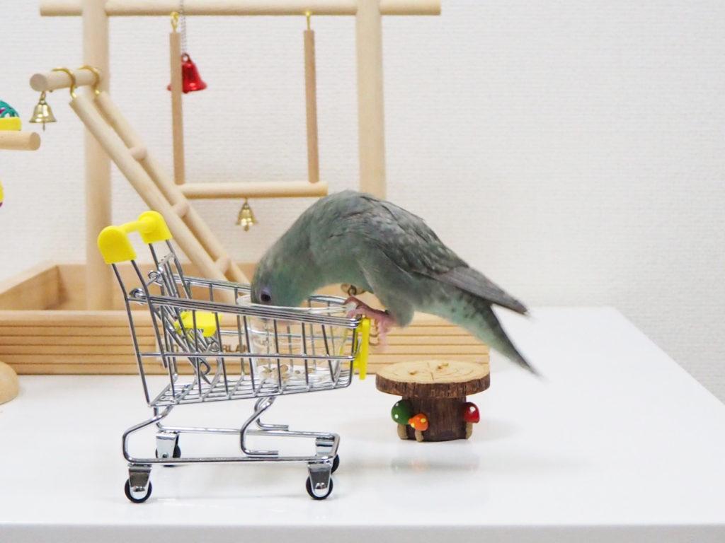 おもちゃのショッピングカートに乗り、おやつを食べるサザナミインコのなすびくん