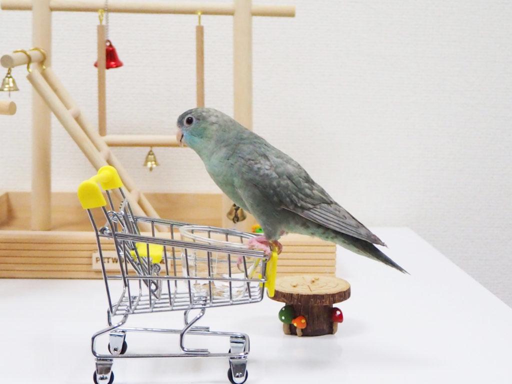 おもちゃのショッピングカートにいきなり乗っちゃうサザナミインコのなすびくん