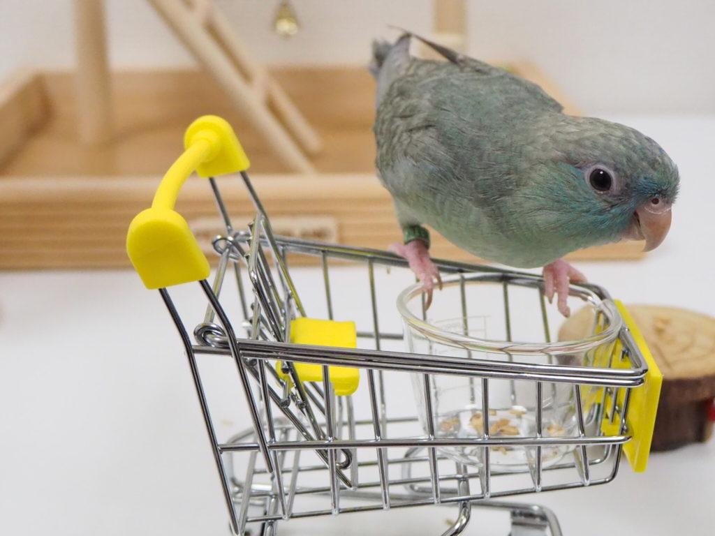 ショッピングカートに乗り、満足げな表情のサザナミインコのなすびくん