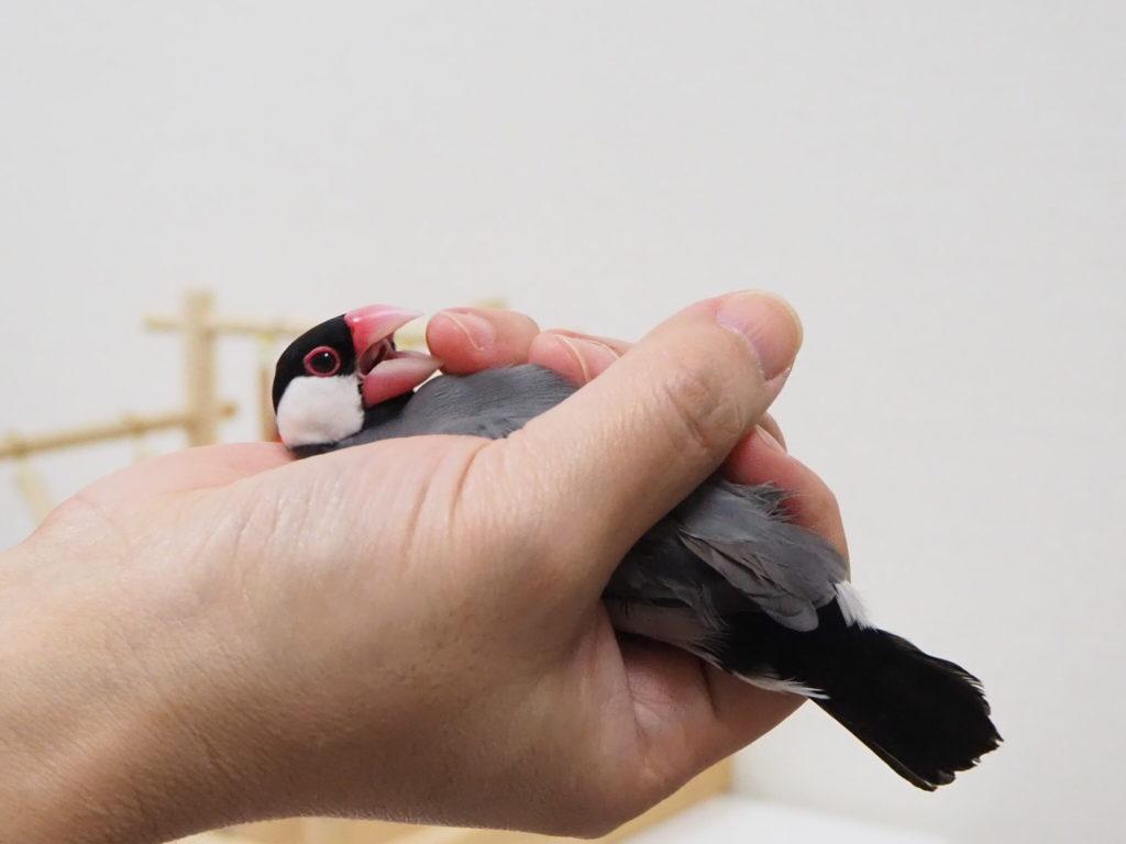 握られていた文鳥のラムネくんが指に噛み付く