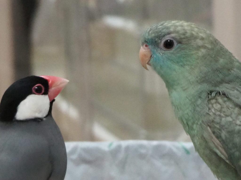 仲良さそうに見つめ合う文鳥のラムネくんとサザナミインコのなすびくん