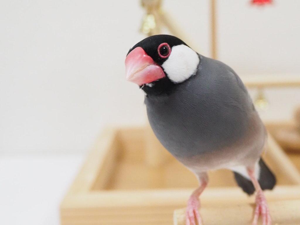 文鳥のラムネくんがこちらを見ている