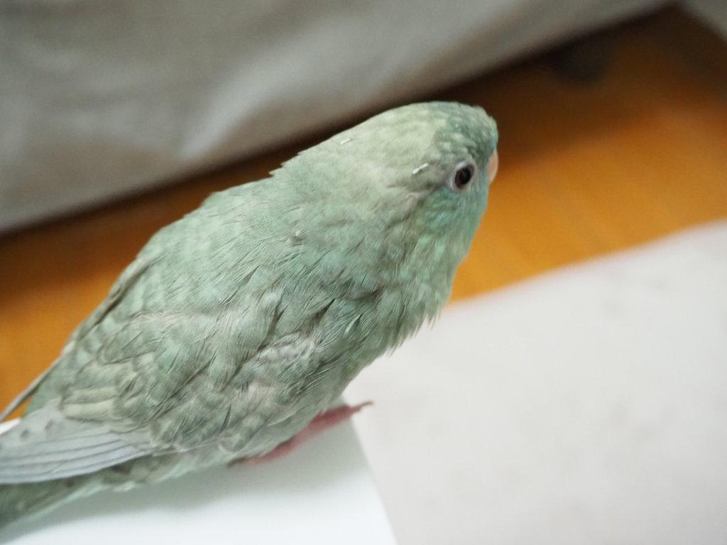 換羽で少し頭がチクチクしているサザナミインコのなすびくん
