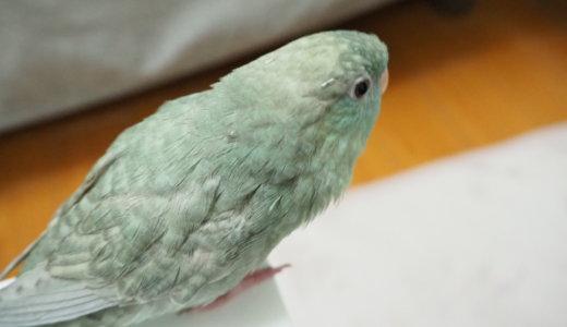 サザナミインコのなすびくんに換羽が訪れたよ