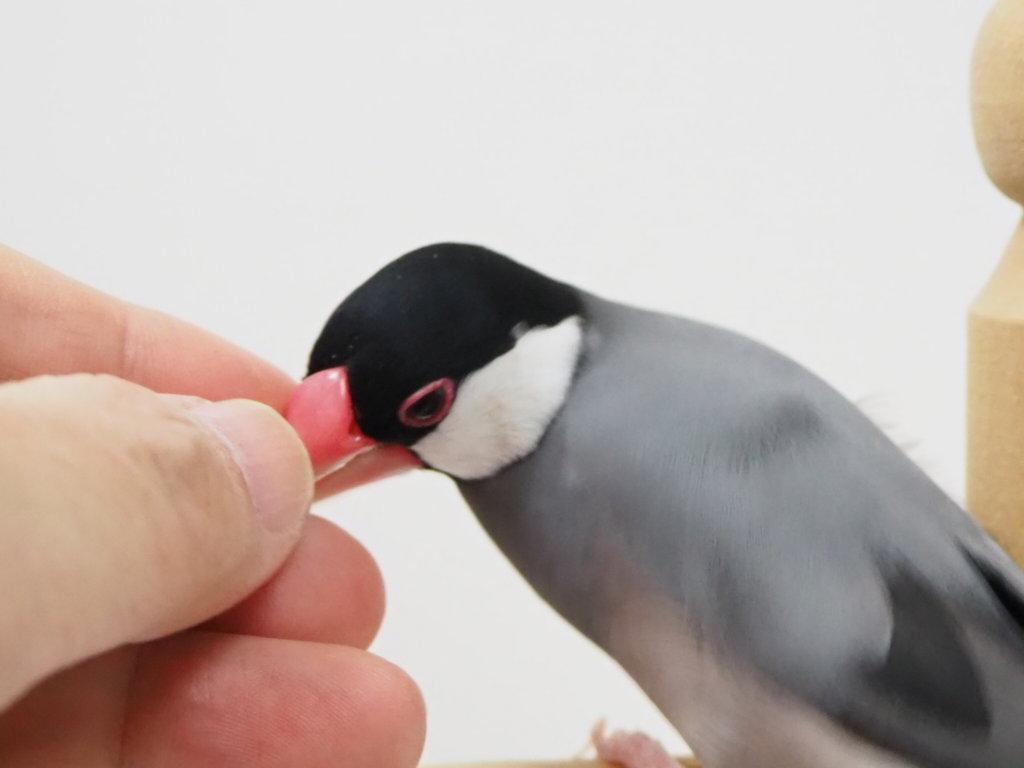 気持ち良さそうに飼い主の指にくちばしを埋める文鳥のラムネくん
