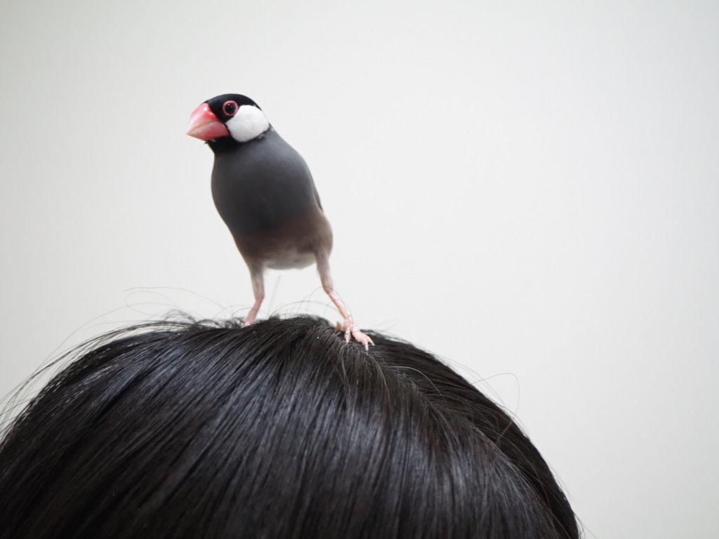 のんたん(恋人)の頭に乗る文鳥のラムネくん