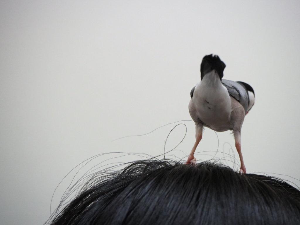 のんたんの頭の上でこちらにお尻を向ける文鳥のラムネくん