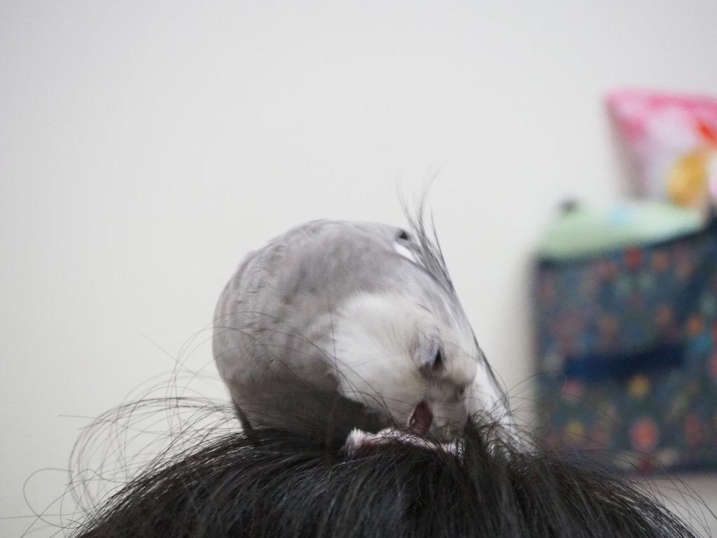 のんたんの頭の上でだんだんとテンションが上ってきたオカメインコのポテトくん