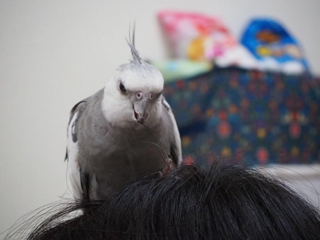 のんたんの頭の上で髪の毛をくちばしで引っ張るオカメインコのポテトくん